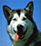 лайка - порода ездовых собак