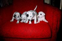 Бося и щенки (Нарик - отец) - прислала Елена