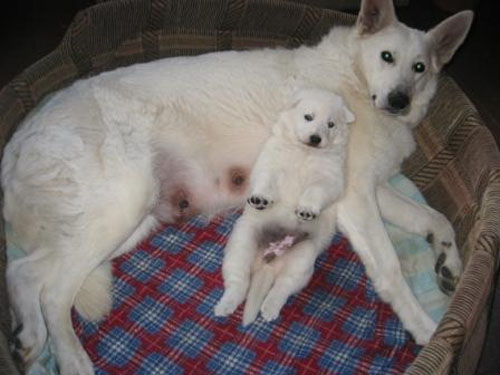 отец щенка -LYONS TREASURE TREY