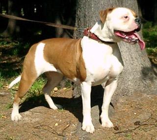 такая собака может с лёгкостью защитить хозяина! Идеально подходит для охраны дома, для работы в милиции, для охоты и просто хороший друг