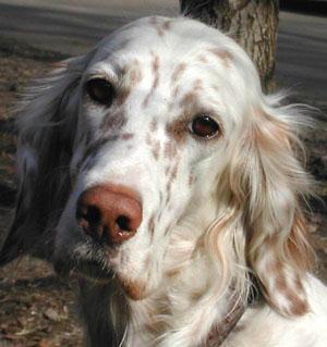 грустные глаза... они неотразимы...  на самом же деле сеттеры очень весёлые и жизнерадостные собаки