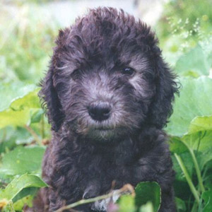 так выглядит щенок бедлингтона http://www.arta-dogs.ru/