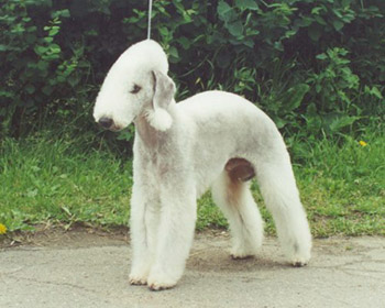 красавчик крысолов! http://www.arta-dogs.ru/