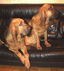 бладхаунды - спокойные собаки, любящие полежать на диванчике