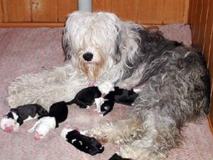Габриэль Вайт Блю со щенками - большая мама с крошками-детьми