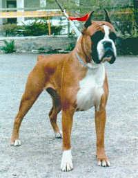 боксёры - замечательные собаки! рыжий окрас с белыми отметинами