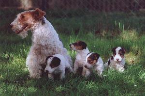а это мамочка-фокс со своими щенятами! фото с сайта: http://www.foxterrier.biz/