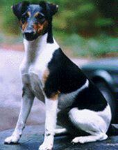 да пусть Вас не обманет сей кроткий лик... на самом-то деле фоксы - самые настоящие озорники! фото с сайта: http://www.foxterrier.biz/
