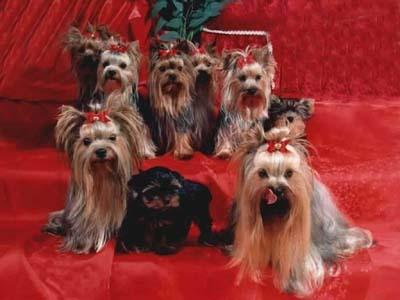 вот какая симпатичная семейка йоркшир-терьеров!