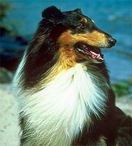 шотландская овчарка - ещё одно название колли