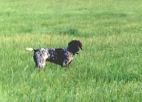 курцхаар - охотничья собака