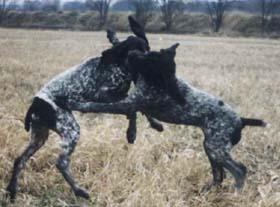 собаки этой породы любят поиграть на природе