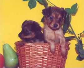 два прелестных щеночка