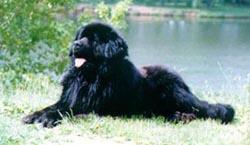 ньюфаундленды - крупные и очень красивые собаки