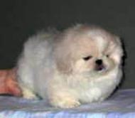 а это щеночек пекинеса!