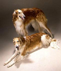мать собаки выше, Чемпион России и Евразии ТУЛА МАЙОВИ