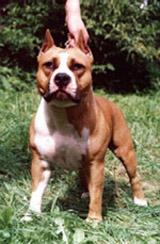 Гера очень компактная, отличного формата собака. Имеет диплом 1-ой степени по ОКД. Окрас рыже-белый.